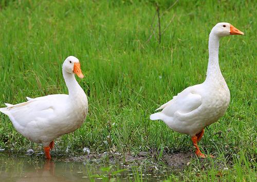 优质杂交大白鹅